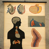 German Anatomical Educational Endocrine System Chart