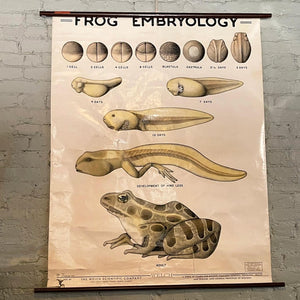 Educational Frog Embryology Chart By The Welch Scientific Company