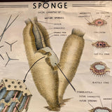 Educational Zoological Marine Sponge Wall Chart, The Welch Scientific Company