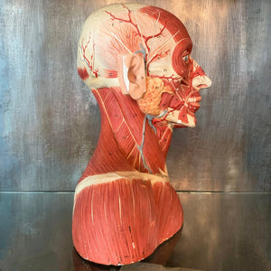 German Anatomical Muscular Bust Model