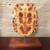 Mounted Tortoise Shell