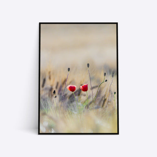Red Poppies plakat i ramme