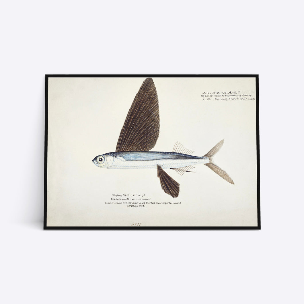 Flying Fish illustration plakat i ramme