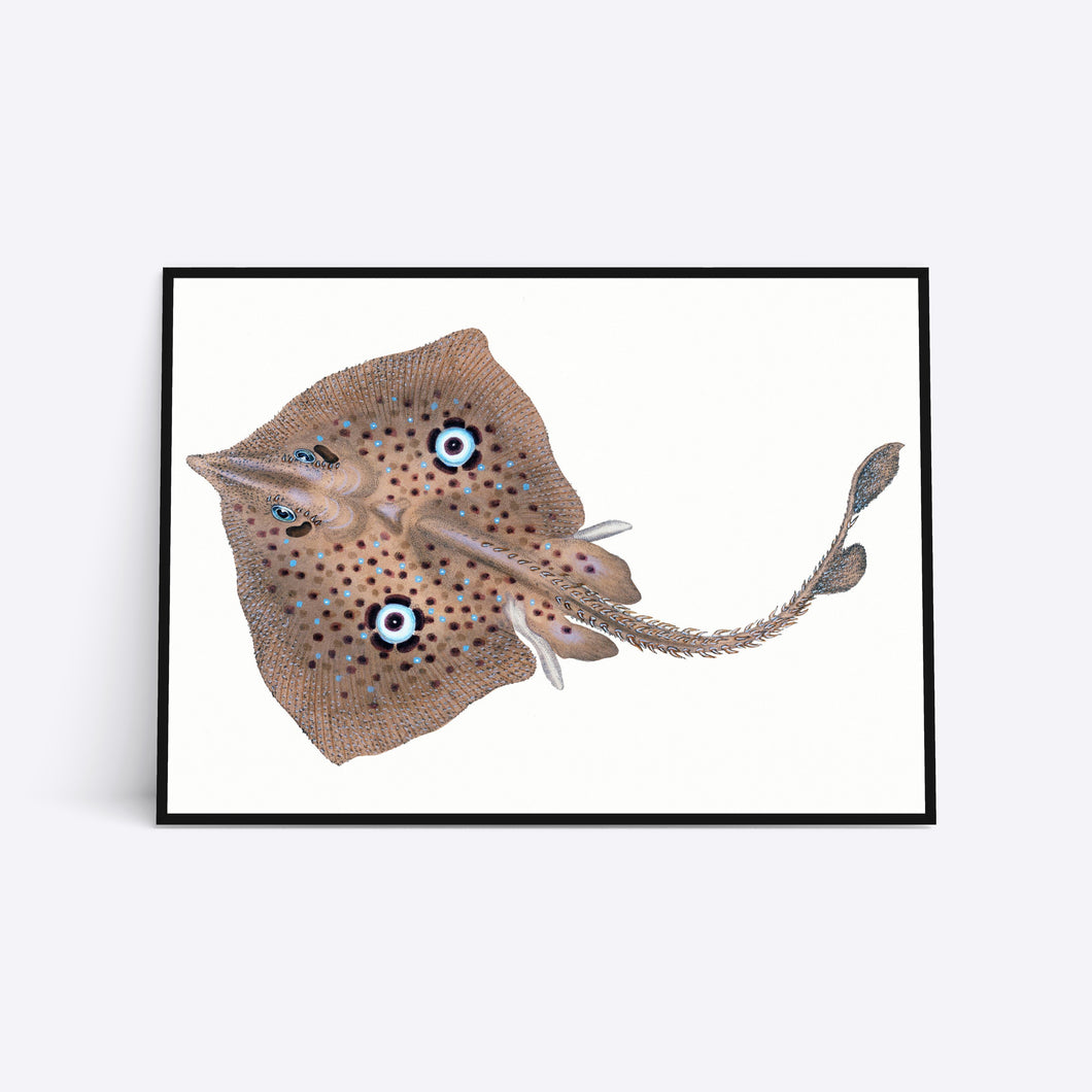Blue Eyed Ray plakat i ramme