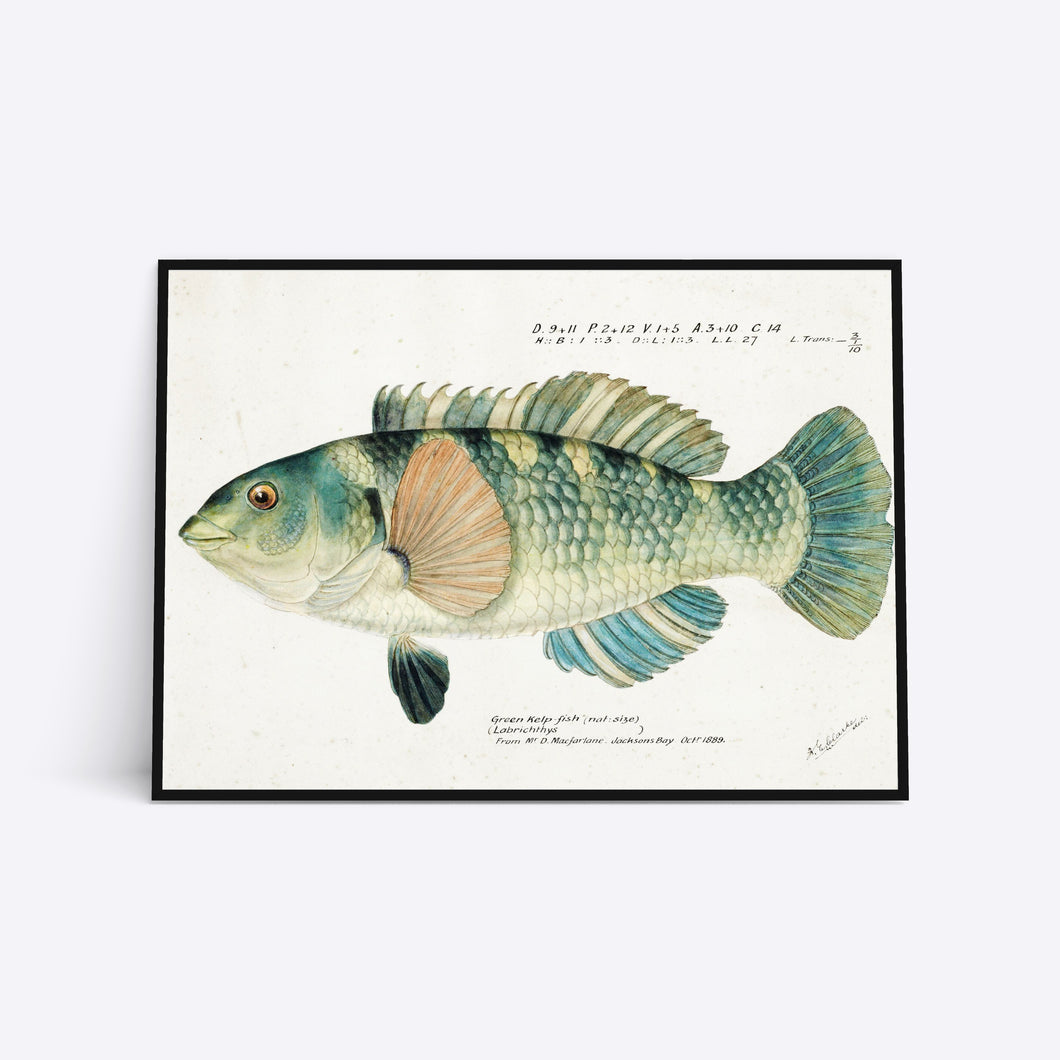 Green Kelp illustration plakat i ramme