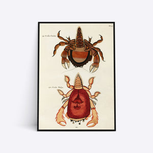 Crabs illustration plakat i ramme