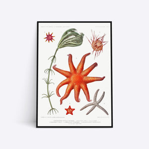 Starfish and more plakat i ramme