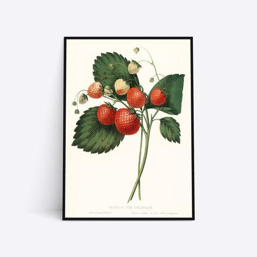 The Boston Pine Strawberry