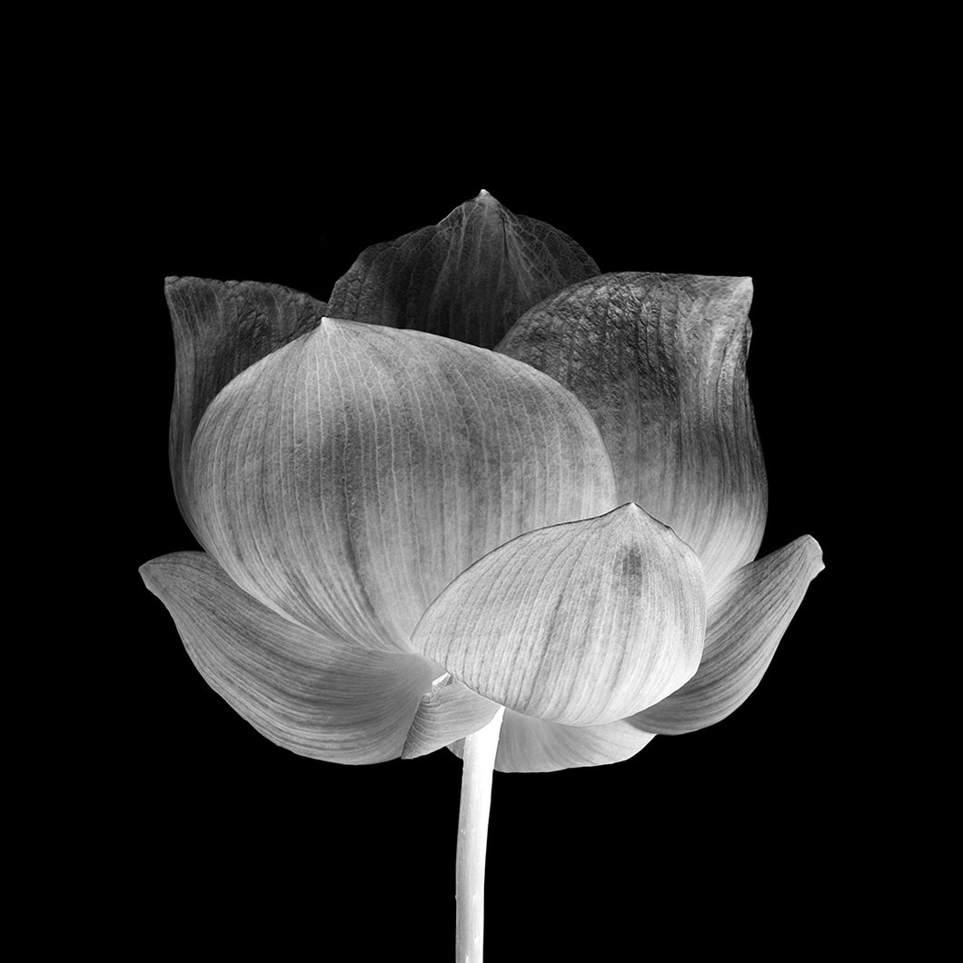 Black Lotus Canvas - 100cm x 100cm