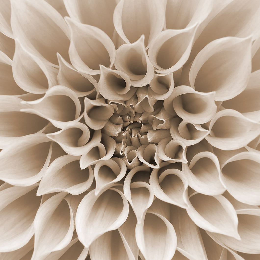 Dahlia Delight Canvas (6 Sizes)