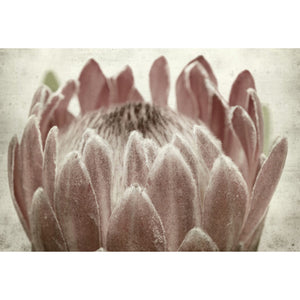 Vintage Protea Head Canvas - 118cm x 80cm