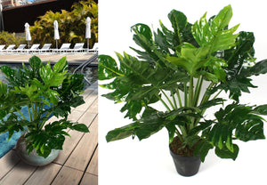 Potted Philodendron - 80cm