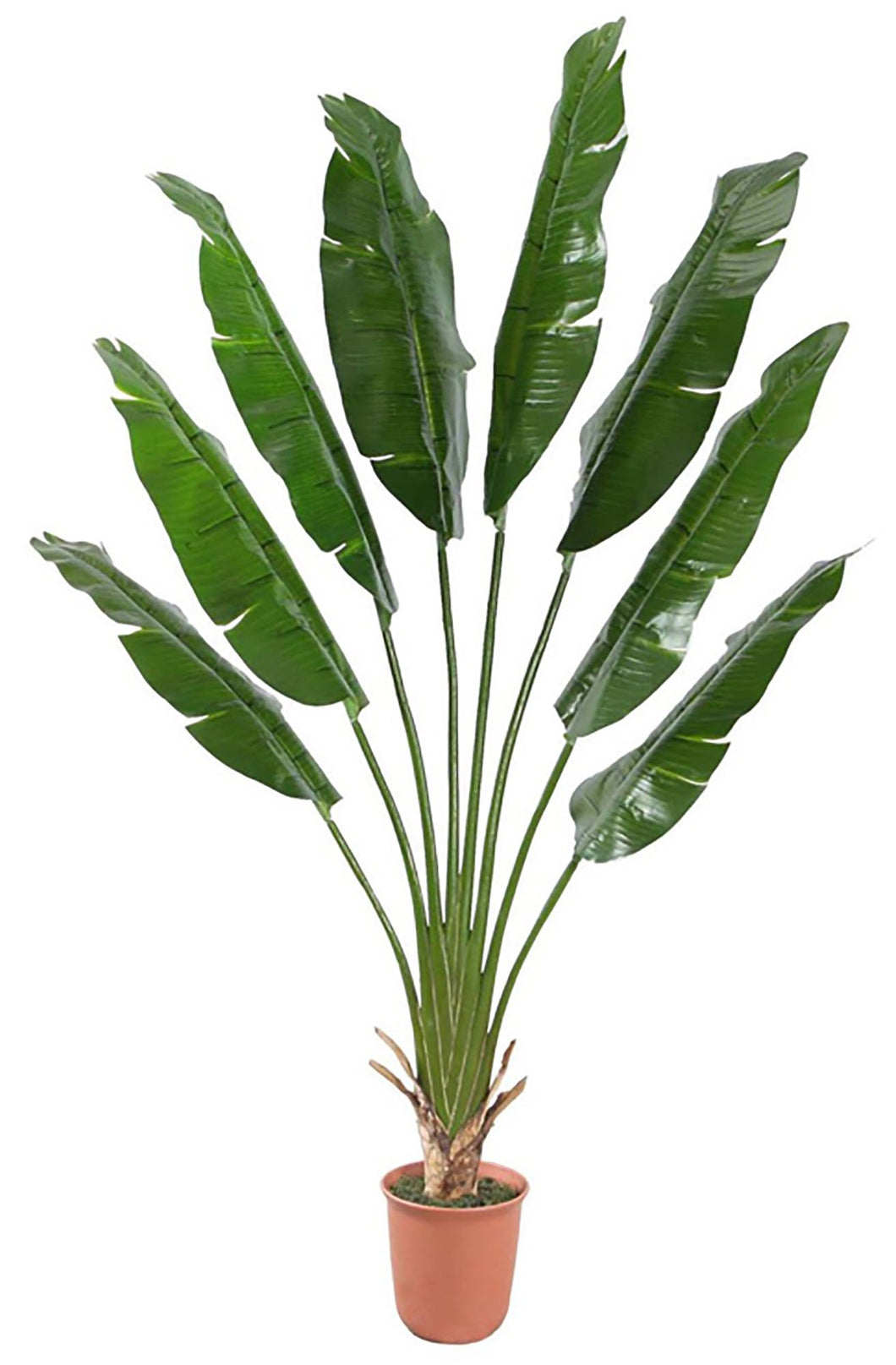 Potted Traveler's Palm - 210cm