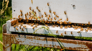 Sponsor a Green-Wood Beehive for 2021