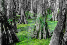 Load image into Gallery viewer, Fine Art Print, New Orleans, Cyprus Trees in Swamp