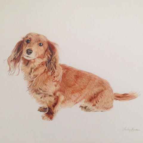 dauchshund portrait colored pencil drawing