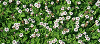 'Kurapia' Groundcover California Lawn Alternatives