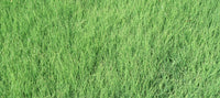 'UC Verde' Buffalo Grass California Lawn Alternatives
