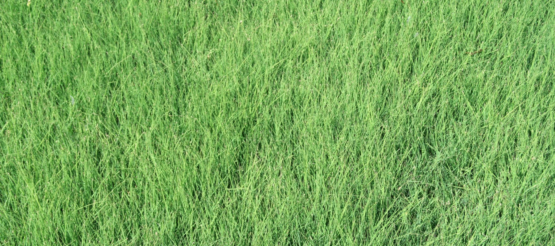 California Lawn Alternatives Drought Tolerant Grass And Groundcovers