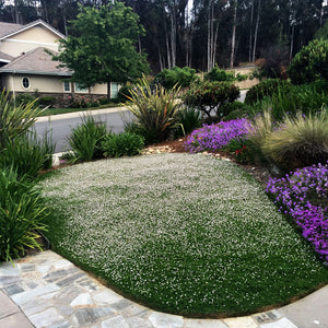 'Kurapia' Ground Cover Residential Lawn Replacement