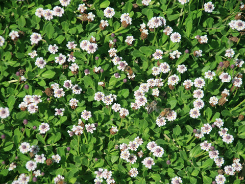 Kurapia Ground Cover close up flowers and bees