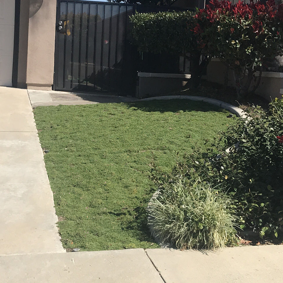 Ruschia 'Nana' Succulent Residential Lawn Replacement