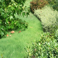 'UC Verde' Buffalo Grass as Pathway California Lawn Alternatives