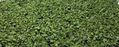 Kurapia Ground Cover from California Lawn Alternatives