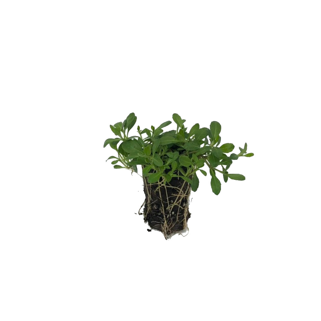 Plug of Kurapia Ground Cover, order today!