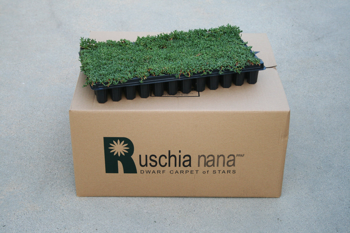 Ruschia 'Nana' Succulent tray and box