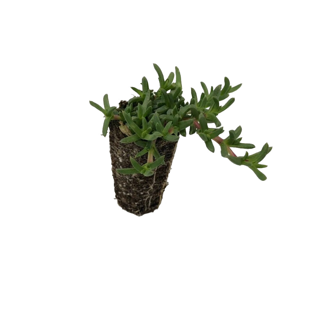 Plug of Ruschia 'Nana' Succulent, order today!