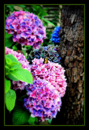 Butterflies and Hydrangeas - Tracy McCrackin Photography