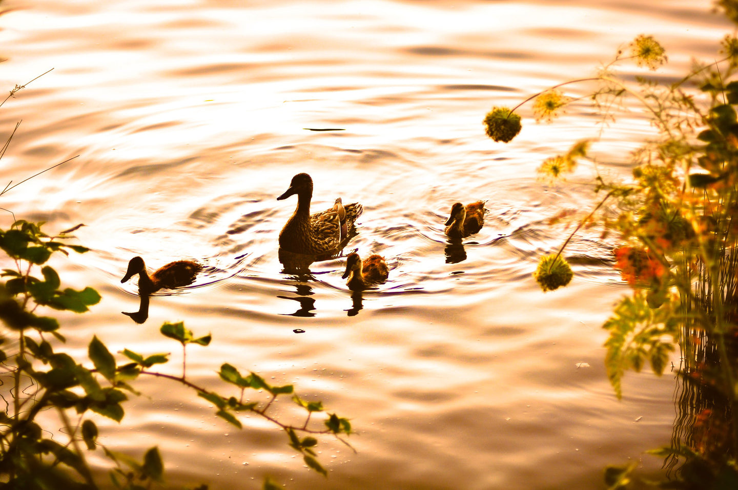 Baby Ducks by Sunset - Tracy McCrackin Photography