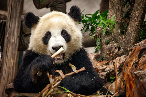 Hungry Panda at the Panda Zoo - Tracy McCrackin Photography