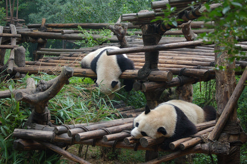 Sleeping Pandas in China - Tracy McCrackin Photography
