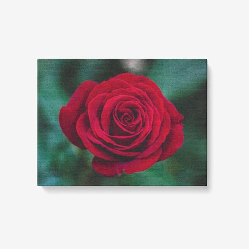 Single Red Rose - 1 Piece Canvas Wall Art - Framed Ready to Hang 24