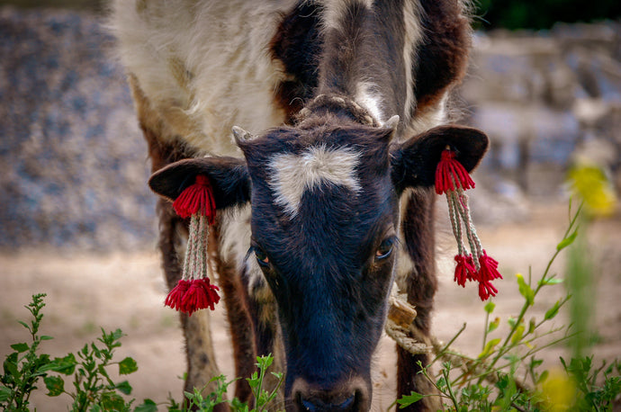 Tibetan Cattle Wearing Earnings