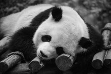 Load image into Gallery viewer, Panda Bear at the Panda Zoo - Tracy McCrackin Photography
