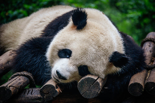 Panda Bear at the Panda Zoo - Tracy McCrackin Photography