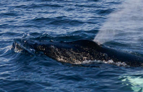 Spouting Whale in the Arctic - Tracy McCrackin Photography