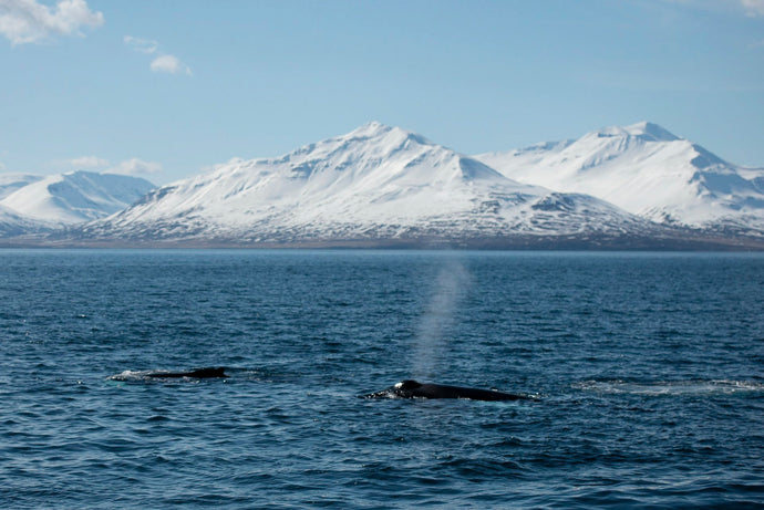 Killer Whale Pods in the Artic