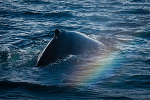 Rainbow over Whale Hump... Pods in Artic - Tracy McCrackin Photography