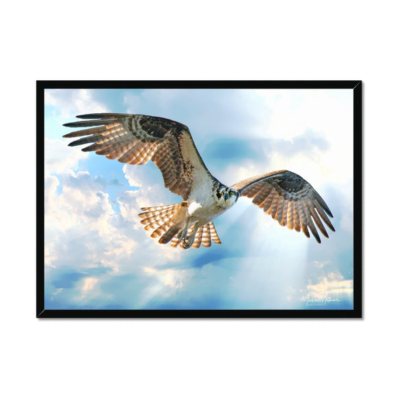 Osprey in the Rays Framed Print