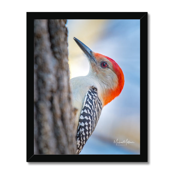 Peek-a-boo Red-bellied Woodpecker Framed Print