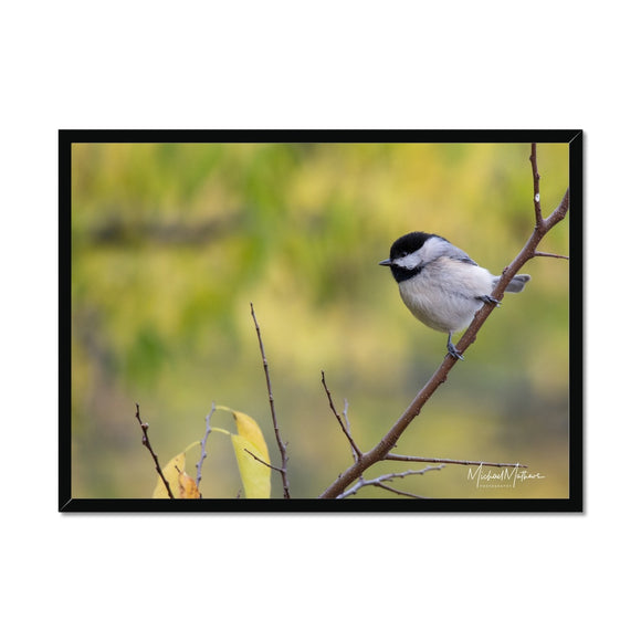 Chickadee on a Stick Framed Print