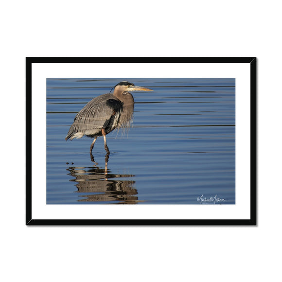 Great Blue Heron on Watery Stroll Framed & Mounted Print
