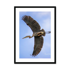 Great Blue Heron Flyby Framed & Mounted Print