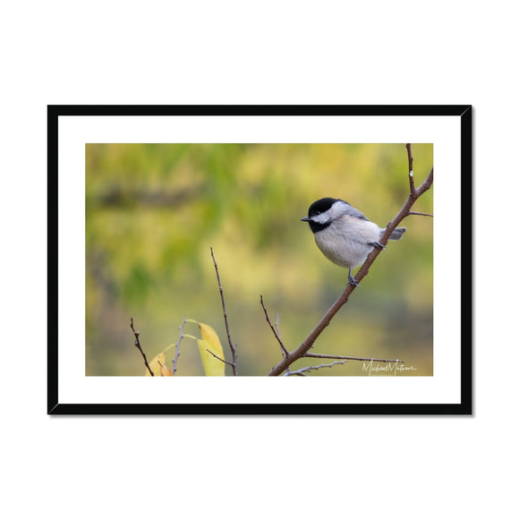Chickadee on a Stick Framed & Mounted Print