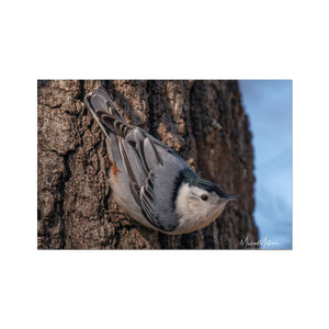 White-breasted Nuthatch Headed Down Fine Art Print