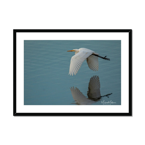 Great Egret Skimming Framed & Mounted Print
